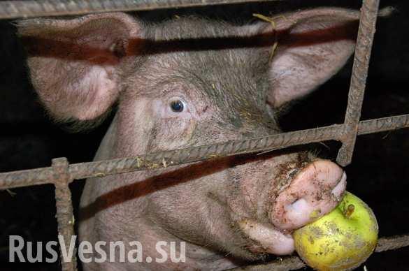 Жрать как свинья